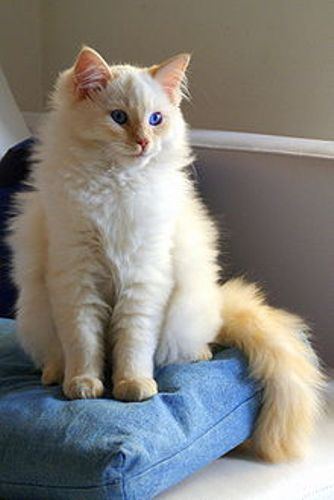facts about ragdoll cats