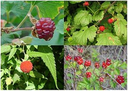 facts about raspberries
