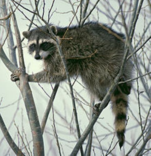 fun facts about raccoons