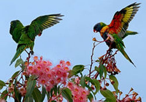 rainbow lorikeet beauty