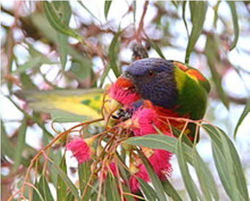 rainbow lorikeet facts