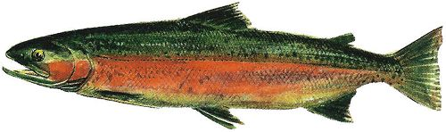 male freshwater phase steelhead