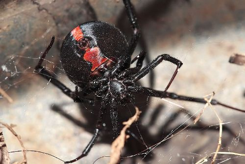 Facts about Red Back Spider