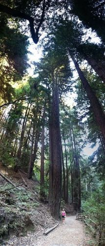 Facts about Redwood Trees