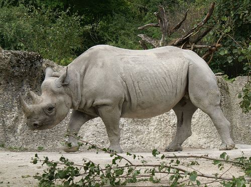 Facts about Rhinoceros