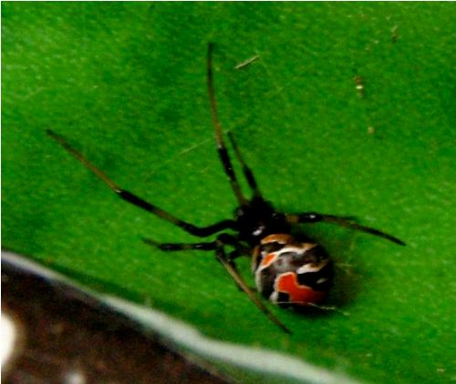 Red Back Spider Pic