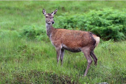 Red deer facts