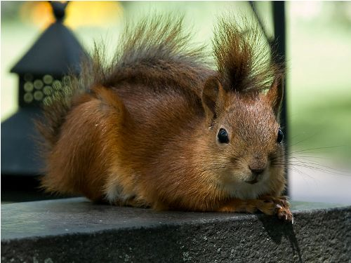 Red squirrel Images