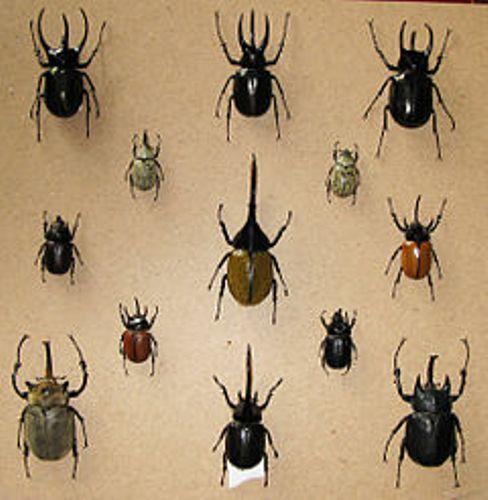 Rhino Beetles Pic