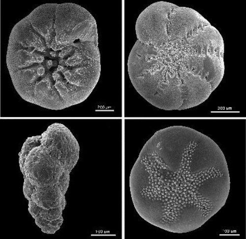 Rhizaria Facts