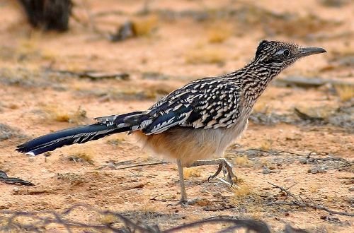 Facts about Roadrunners