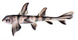 facts about zebra bullhead sharks