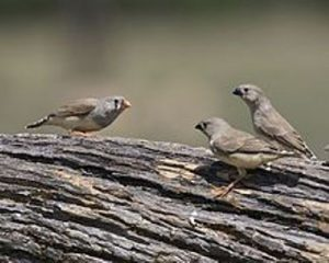 facts about zebra finches