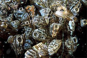 facts about zebra mussels