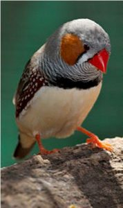 zebra finches pictures