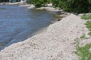 zebra mussels on green bay