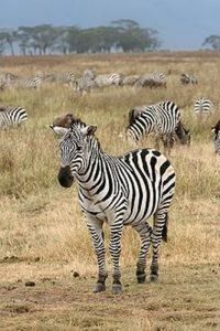 zebras facts