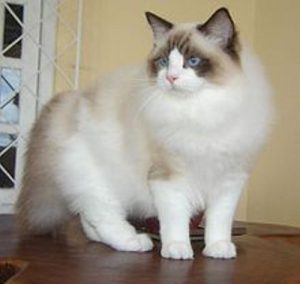 facts about ragdoll