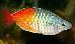 facts about rainbowfish