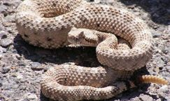 facts about rattlesnake