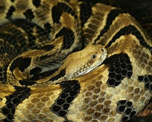 facts about rattlesnakes