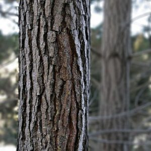 facts about radiata pine