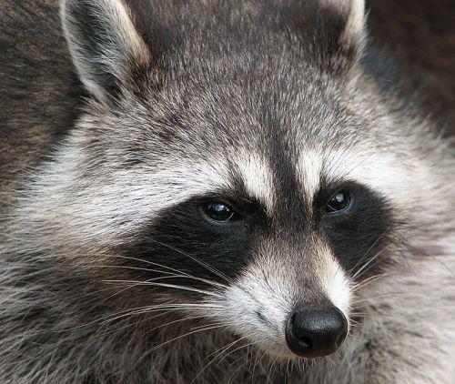 raccoons fur
