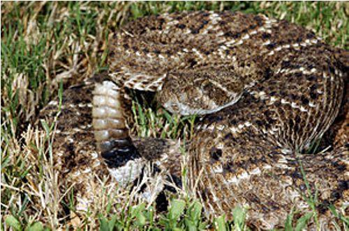 rattlesnake pic