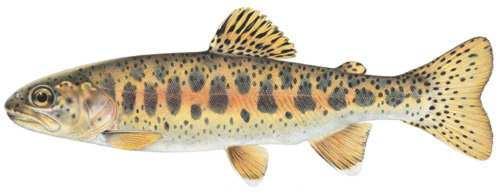 redbandfish
