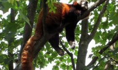 Facts about Red Pandas