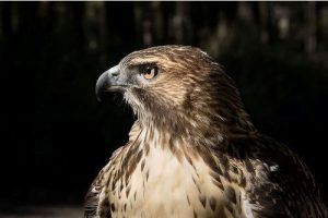 Facts about Red-Tailed Hawks