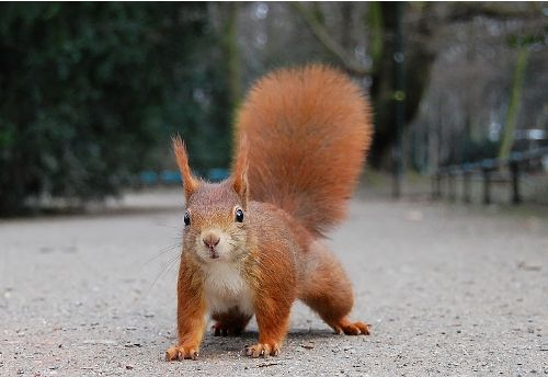 Facts about Red squirrel