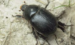 Facts about Rhino Beetles