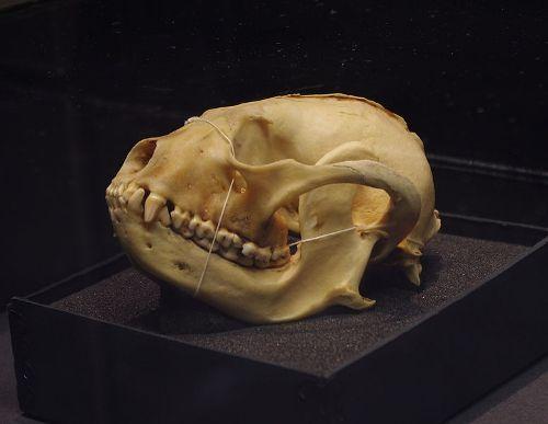 Red Pandas Skull