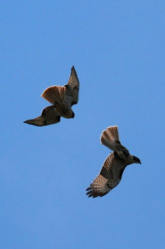 Red-Tailed Hawks Fly