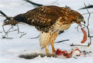 Red-Tailed Hawks Pic