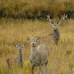 Red deer Pic