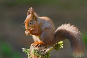Red squirrel Facts