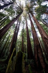 Redwood Trees Facts