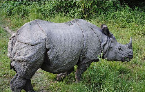 Rhinoceros Pic