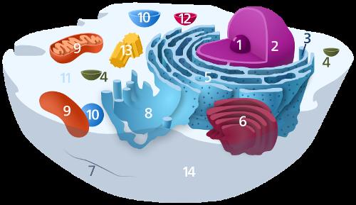 Ribosomes Image
