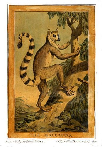 Facts about Ring Tailed Lemurs