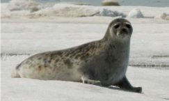 Facts about Ringed Seals
