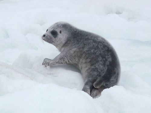 Ringed Seals Facts