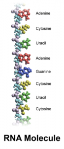 RNA Facts