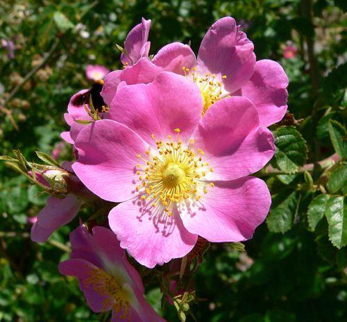 Rose Pic