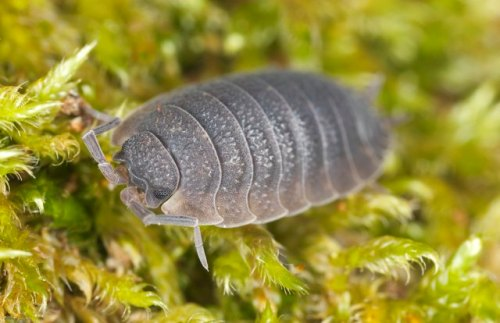 Facts about Rolly Pollies