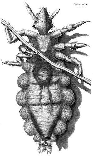 Robert Hooke Diagram of Louse