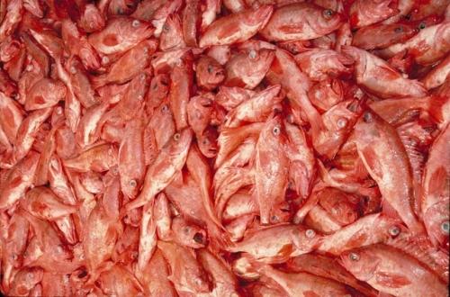 Rockfish Color