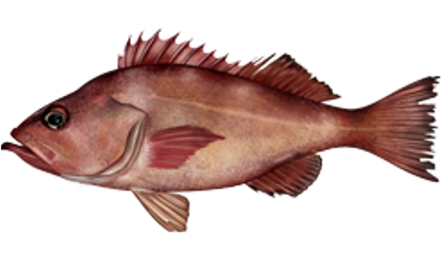 Rockfish Facts